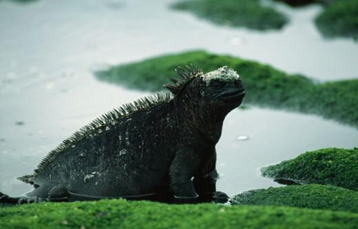 Marine Iguana Fernandina Island  Ecuador : Stock Photo