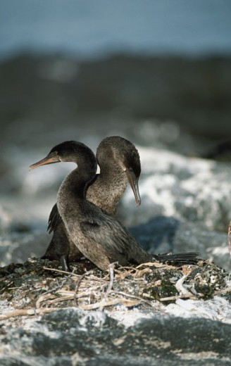 Flightless Cormorants : Stock Photo