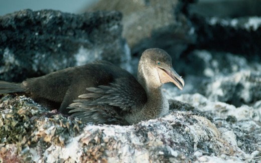 Flightless Cormorant : Stock Photo