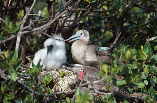Red-Footed Boobies : Stock Photo