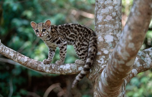Side profile of a margay standing on a branch, Brazil (Felis wiedii) : Stock Photo