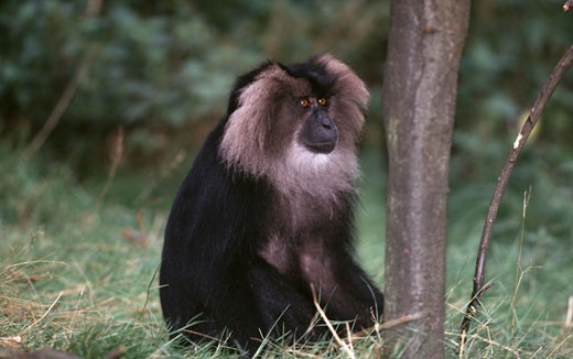 Stock Photo: 1370-5163 Lion-Tailed Macaque