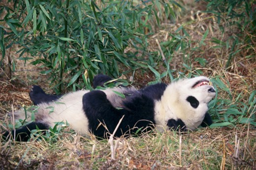 Stock Photo: 1370-517 Giant Panda lying in the grass (Ailuropoda melanoleuca)