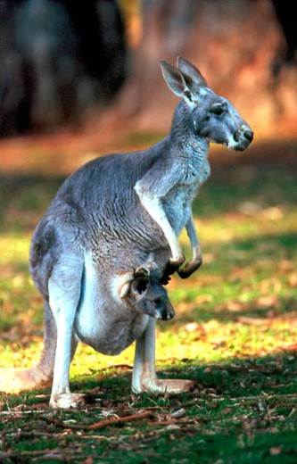 Stock Photo: 1370-5188 Red Kangaroos