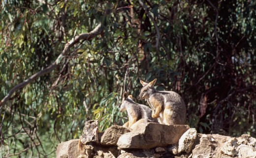 Stock Photo: 1370-5189 Yellow-Footed 
