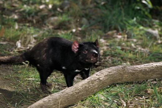 Tasmanian Devil Australia : Stock Photo