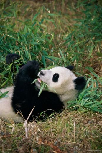 Stock Photo: 1370-529 Giant Panda