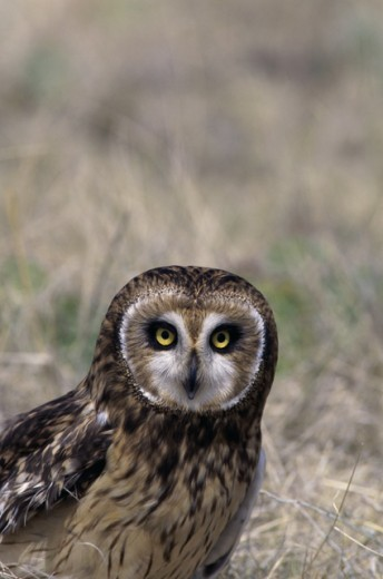 Close-up of a Short-eared Owl : Stock Photo