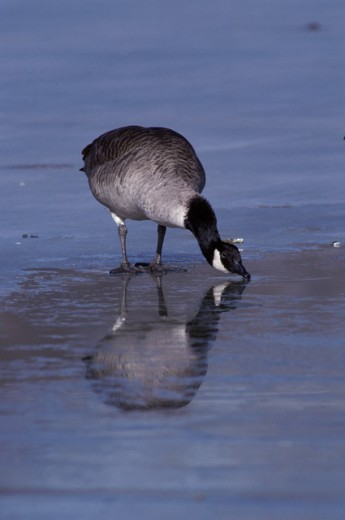 Canada Goose drinking water : Stock Photo
