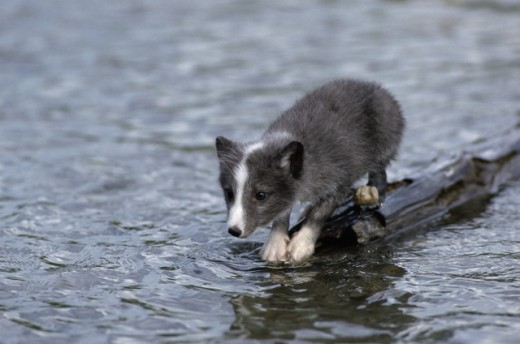 Arctic Fox pup standing on a log in the river : Stock Photo