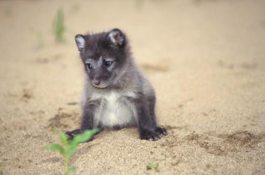 Stock Photo: 1370R-3453 Close-up of an Arctic Fox pup