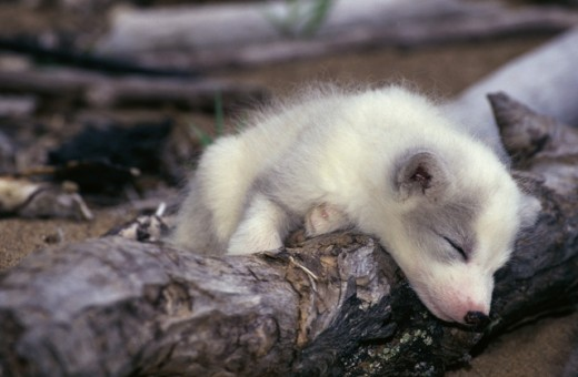 Stock Photo: 1370R-3457 Close-up of an Arctic Fox pup sleeping on a log