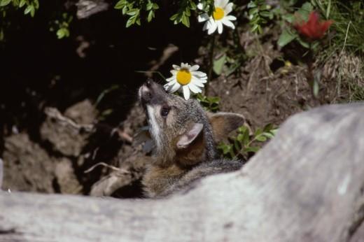 Gray Fox : Stock Photo