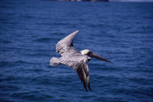 Stock Photo: 1370R-4714 Brown Pelican flying above water