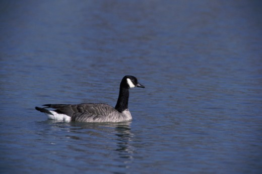 Canada Goose swimming in water : Stock Photo