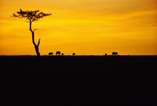 Stock Photo: 1370R-911 Silhouette of a herd of African Elephants