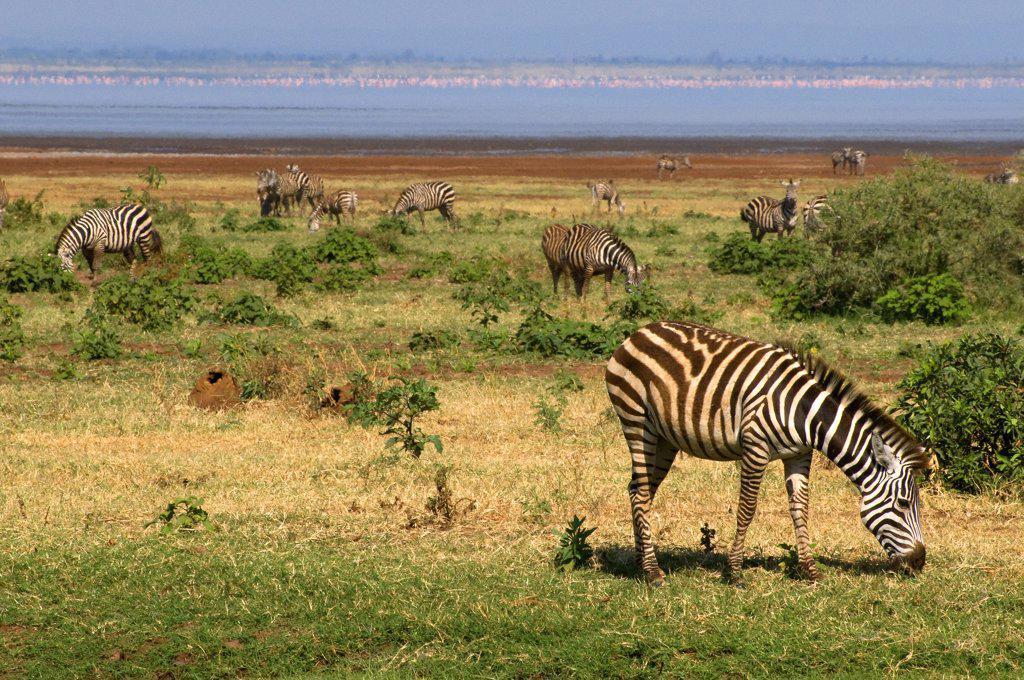 Stock Photo: 1380-1141 Herd of Zebras grazing in a field, Lake Manyara National Park, Tanzania