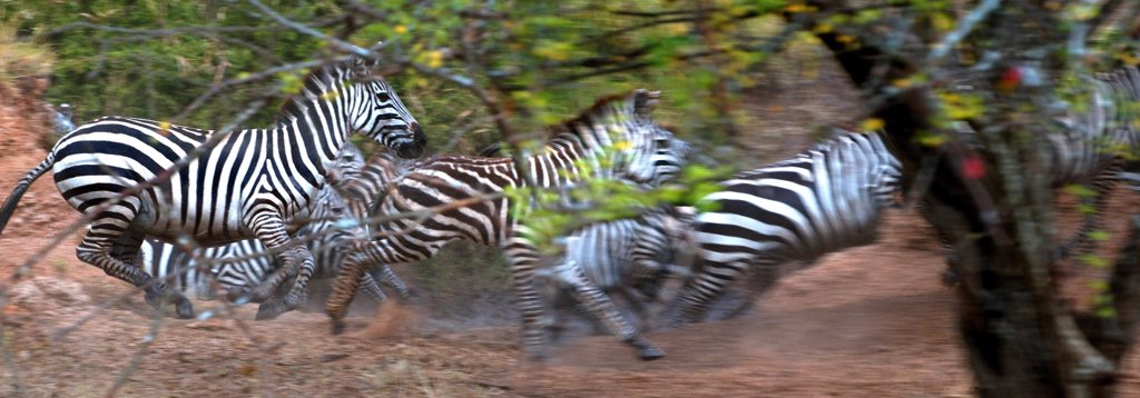 Stock Photo: 1380-1170 Herd of Zebras running in a forest, Serengeti National Park, Tanzania