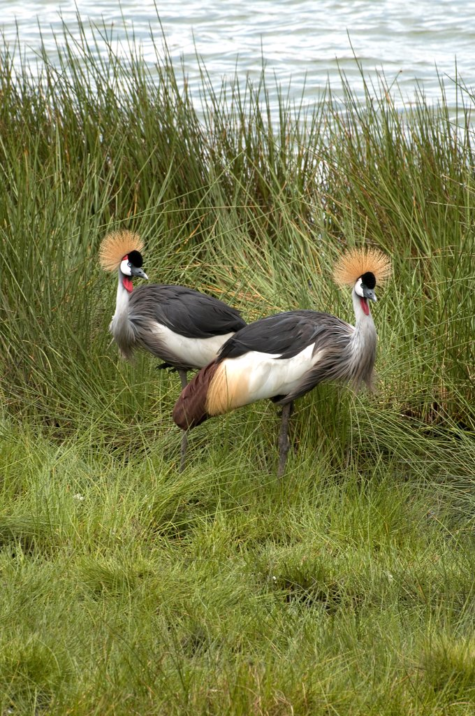 Pair of Grey Crowned cranes (Balearica regulorum) at the lakeside, Arusha National Park, Tanzania : Stock Photo