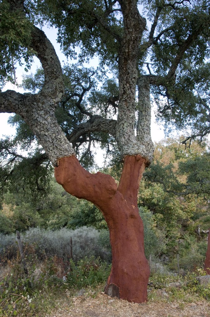 Stock Photo: 1380-1296 Spain, Andalusia, Cork oak