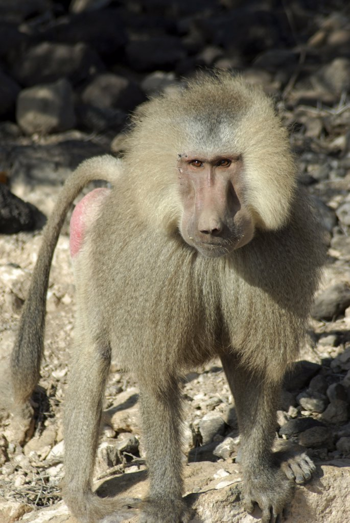 Baboon standing on rocks, Djibouti : Stock Photo
