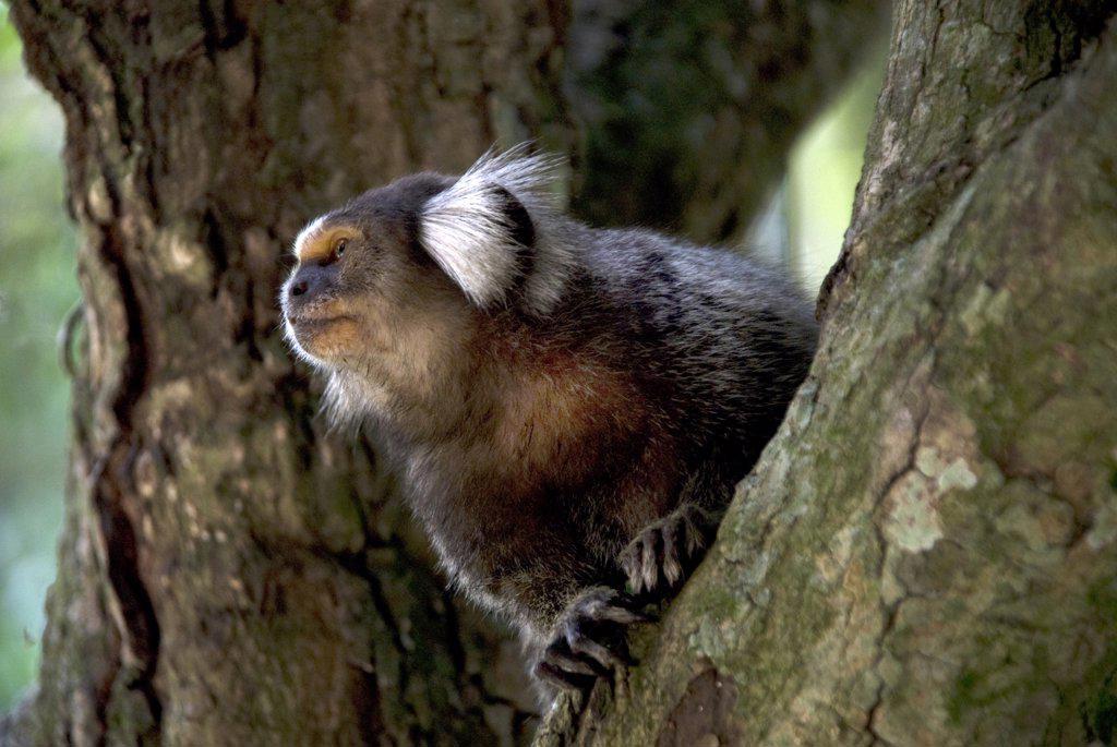 Close-up of a monkey on a tree, Rio de Janeiro Botanical Garden, Rio de Janeiro, Brazil : Stock Photo
