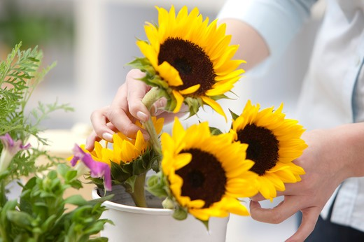 Stock Photo: 1397R-69373 Human hand holding a pot of sunflowers