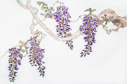 Stock Photo: 1397R-69703 Chinese Fine art, Traditional Chinese Painting, Wisteria