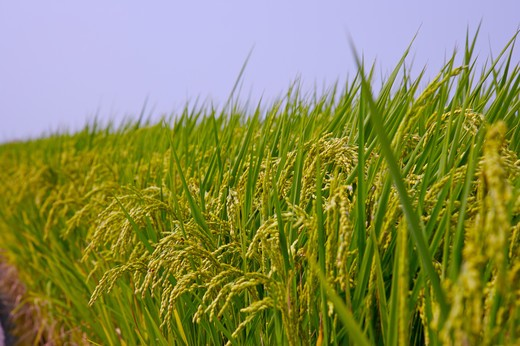 Stock Photo: 1397R-70014 Rice Paddy in Dounan Township, Yunlin, Taiwan