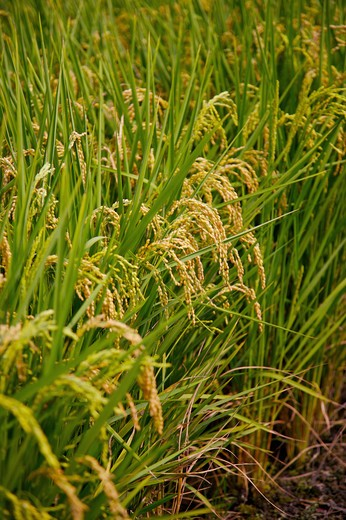 Stock Photo: 1397R-70027 Rice Paddy in Dounan Township, Yunlin, Taiwan