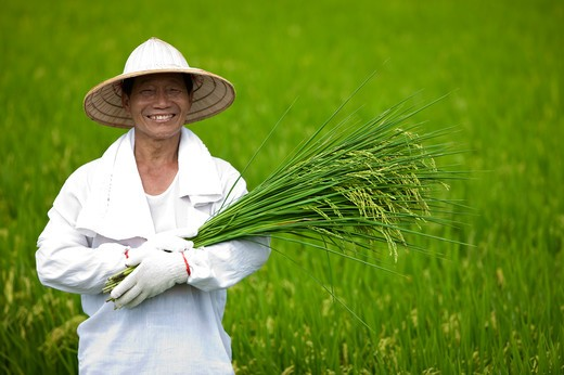 Elderly farmer holding rice plants in rice field, smiling : Stock Photo