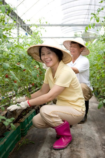 Farmer couple working in greenhouse : Stock Photo