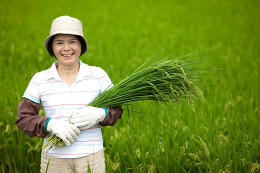 Mature farmer holding rice plants in rice field, smiling : Stock Photo