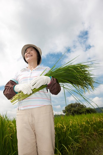 Mature farmer holding rice plants standing in rice field : Stock Photo
