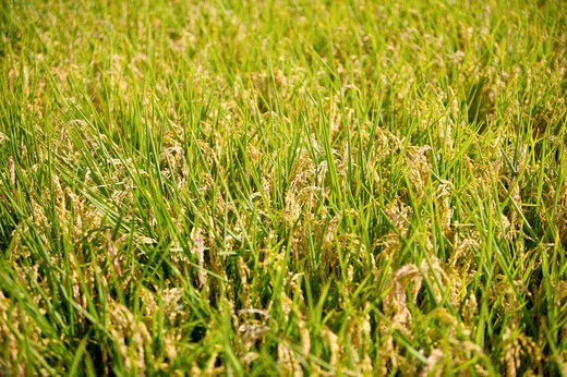Stock Photo: 1397R-70701 Rice Paddy