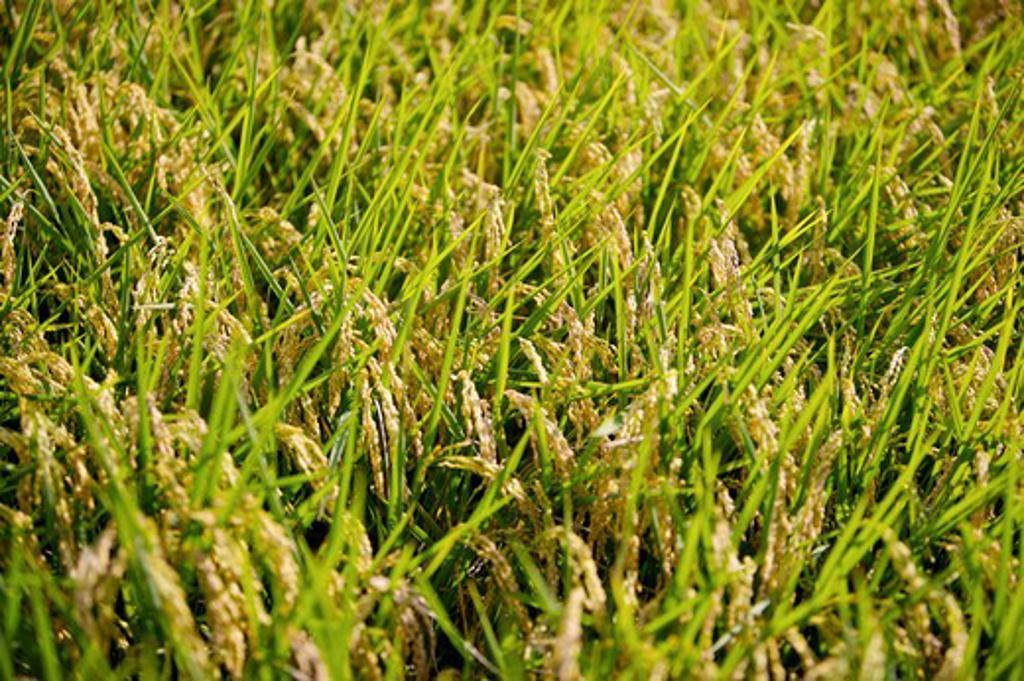 Stock Photo: 1397R-70751 Rice Paddy