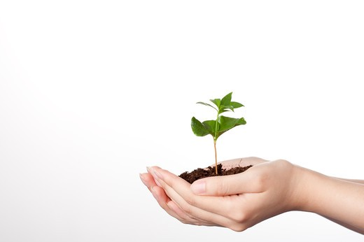 Stock Photo: 1397R-71864 Cupped hands holding coffee plant seedling in soil