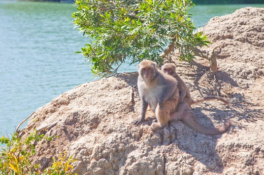 Stock Photo: 1397R-72829 Monkey, Jianshanpei Reservoir, Tainan, Taiwan, Asia