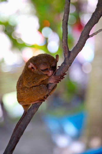 Bohol Island, Cebu, Philippines, Asia, Close-up of philippine tarsier resting on the branch : Stock Photo
