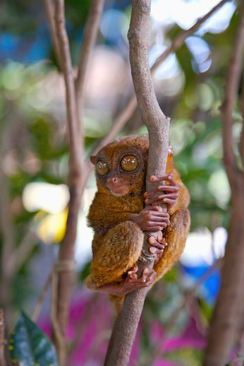Stock Photo: 1397R-73435 Bohol Island, Cebu, Philippines, Asia, Close-up of philippine tarsier