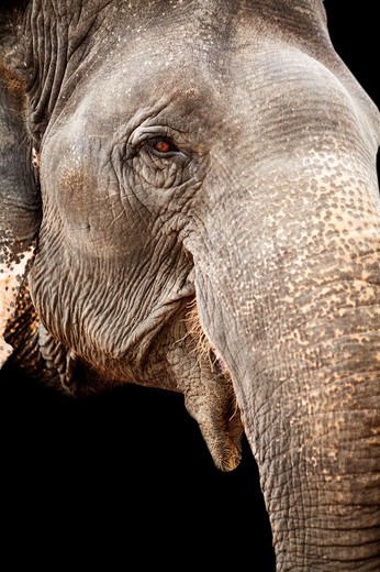 Stock Photo: 1397R-73766 Asia, Thailand, Pattaya, Elephant