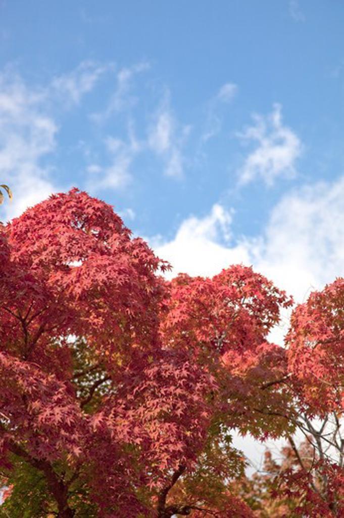 Stock Photo: 1397R-73795 Kamakura, Kanagawa Prefecture, Japan, Maple Leaf, Asia,