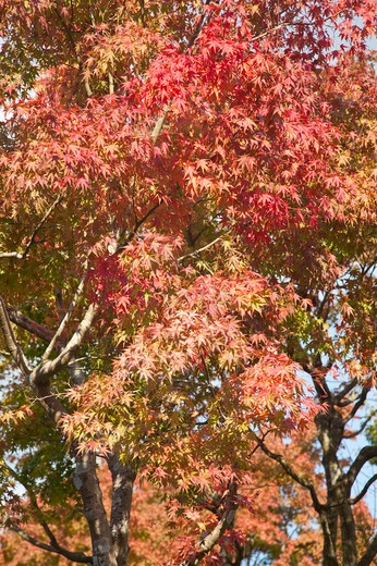 Stock Photo: 1397R-73799 Kamakura, Kanagawa Prefecture, Japan, Maple Leaf, Asia,