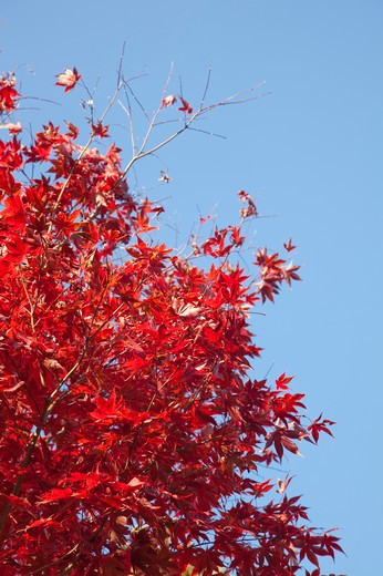 Stock Photo: 1397R-73801 Yamanashi Prefecture, Japan, Maple Leaf, Asia,
