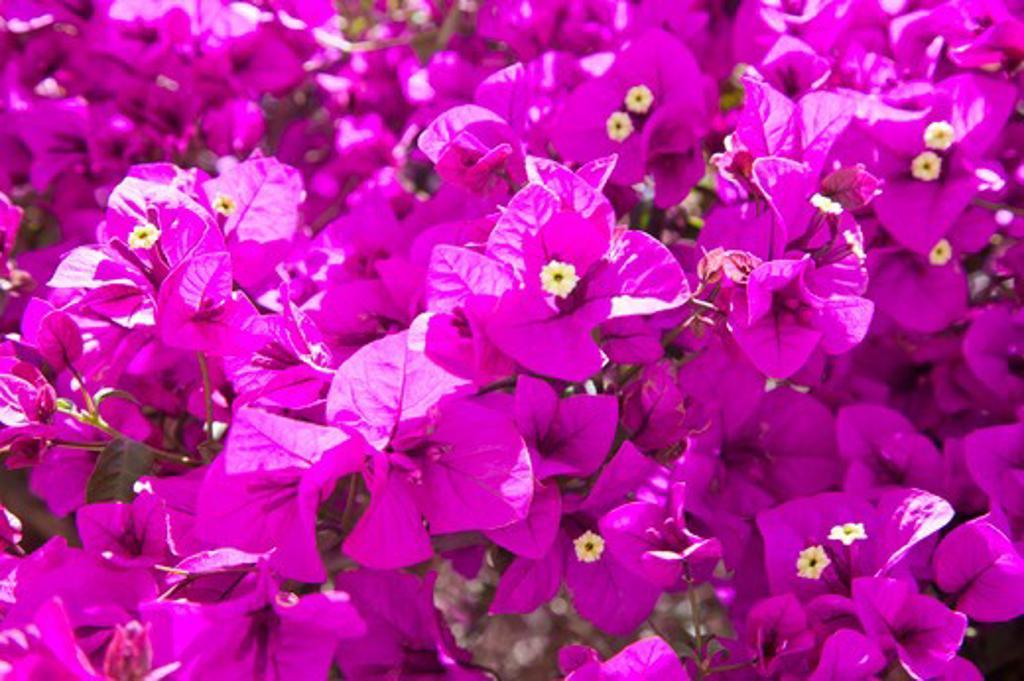 Dali, Yunnan Province, China, Asia, Flower, : Stock Photo