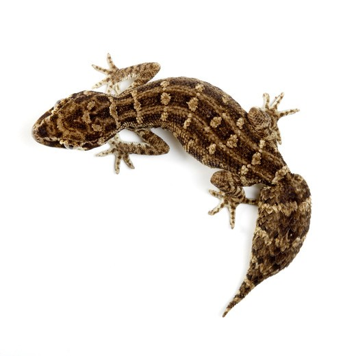 Stock Photo: 1397R-75647 Carrot-tail Viper Gecko, Gecko