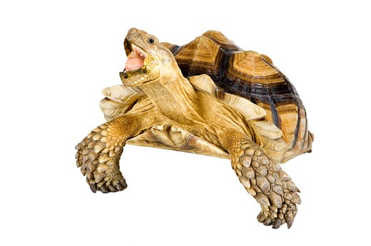 Sulcata Tortoise, Turtle : Stock Photo