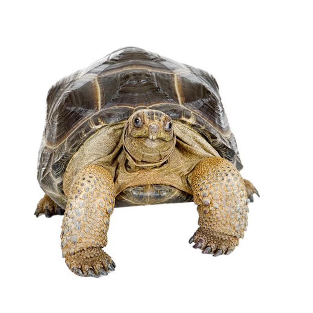 Stock Photo: 1397R-75720 Aldabra Tortoise, Turtle