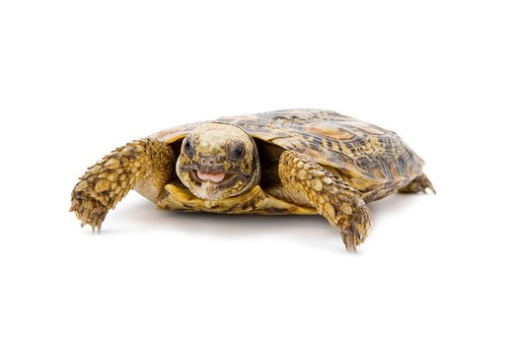 Pancake Tortoise, Turtle : Stock Photo