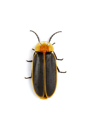 Firefly, Insects : Stock Photo